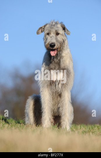 Irish Wolfhound Puppies for Sale - puppyfindcom