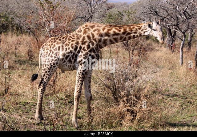 Southern Giraffe   Vincent Mistretta's Blog