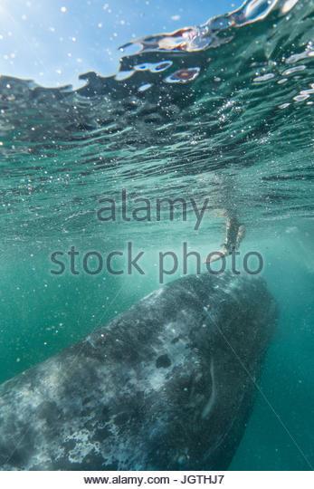 A person reaches toward a California gray whale, Eschrichtius robustus. - Stock Image