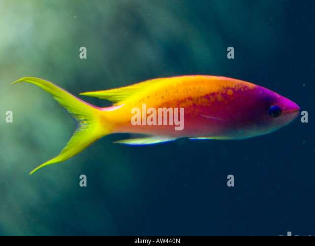 Tropical fish tank stock photos tropical fish tank stock for What is the fastest swimming fish