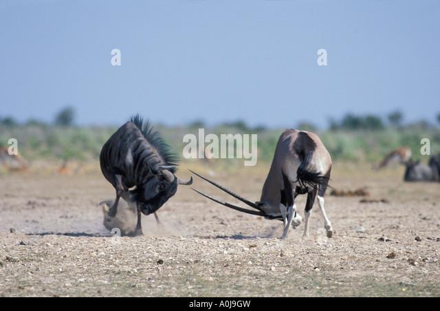 http://l7.alamy.com/zooms/5e60b0a7de0c4da09dc3aeb1d56a7e7f/namibia-etosha-national-park-gemsbok-oryx-gazella-fights-with-wildebeest-a0j9gw.jpg