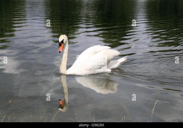 Mute Swan Cygnus Olor Home Park Hampton Court East Molesey
