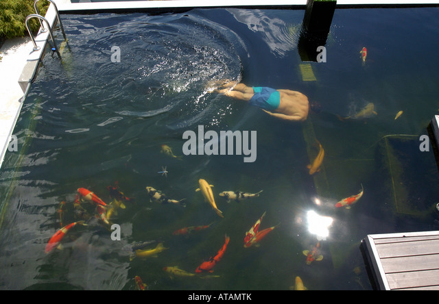 Man koi fish carp stock photos man koi fish carp stock for Koi swimming pool
