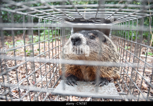 how to set a groundhog trap