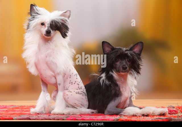 Chinese Crested 4 Months Chinese Crested Dog Ha...