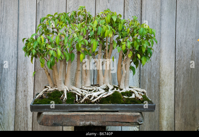 bonsai tree ficus benjamina stock photos bonsai tree. Black Bedroom Furniture Sets. Home Design Ideas