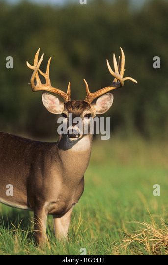 the background of the whitetail deer odocoileus virginianus Odocoileus virginianus  the white-tailed deer is the only member of the north american deer family present in our area  their coats are designed to help them .