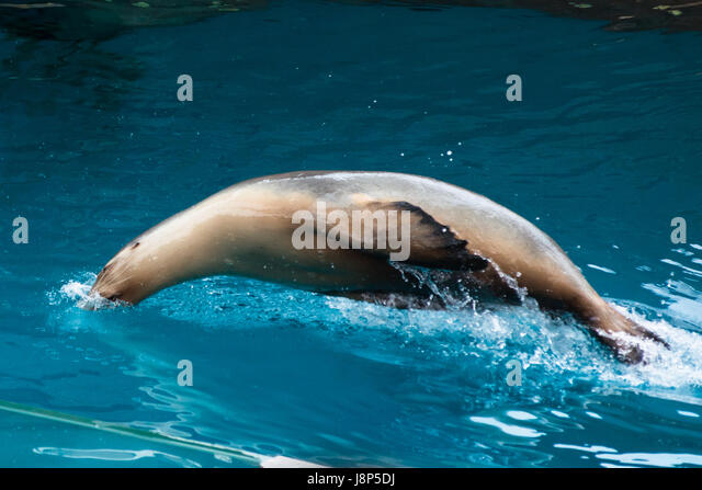 Sea lion swimming pool stock photos sea lion swimming for Pool show sydney
