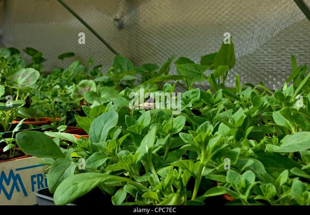 Growing Petunias Stock Photos Amp Growing Petunias Stock