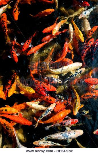 Haematopterus stock photos haematopterus stock images for Japanese ornamental fish