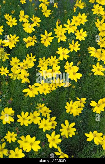 yellow flowers of threadleaf coreopsis compositae coreopsis north america stock image - Threadleaf Coreopsis