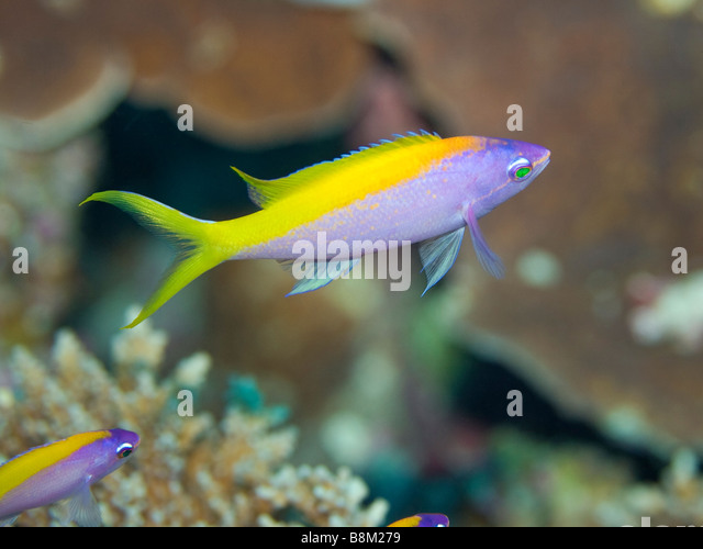 Tropical fish stock photos tropical fish stock images for Yellow tropical fish