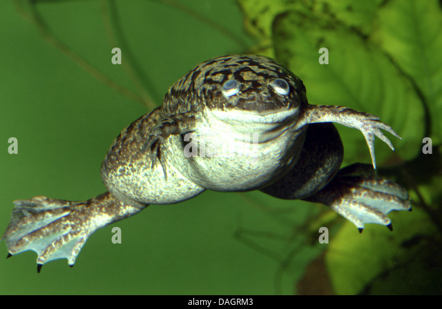 African clawed frog (Xenopus laevis), swimming - Stock Image