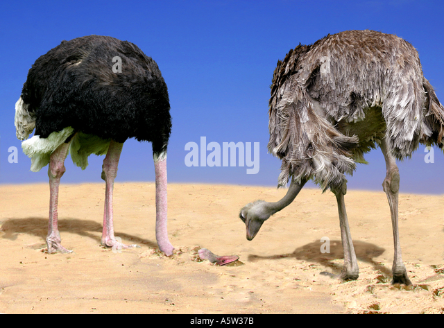 two ostriches one with head in sand stock image