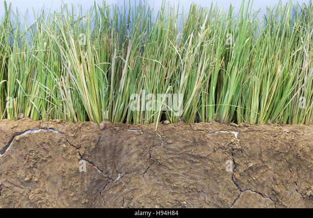 Vetiver stock photos vetiver stock images alamy for Soil erosion in hindi