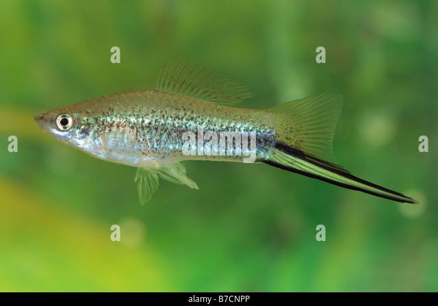 green swordtail green swordtail xiphophorus helleri breed neon