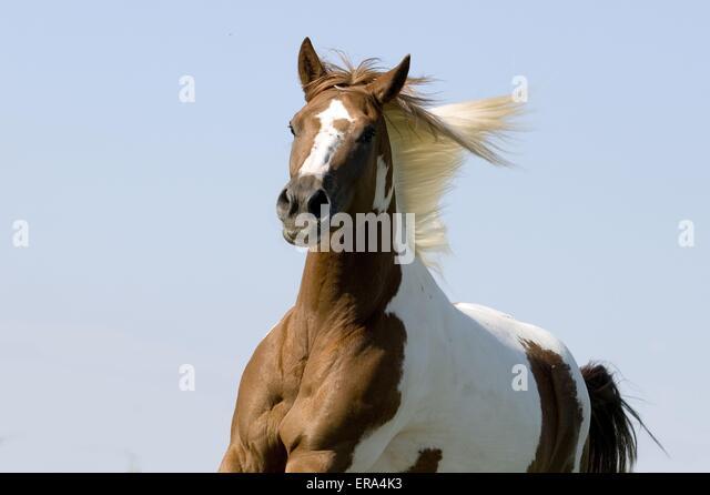 Paint Horse Head Stock Photos & Paint Horse Head Stock ...