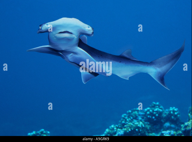 ... hammerhead shark, smooth hammerhead (Sphyrna zygaena, Zygaena malleus