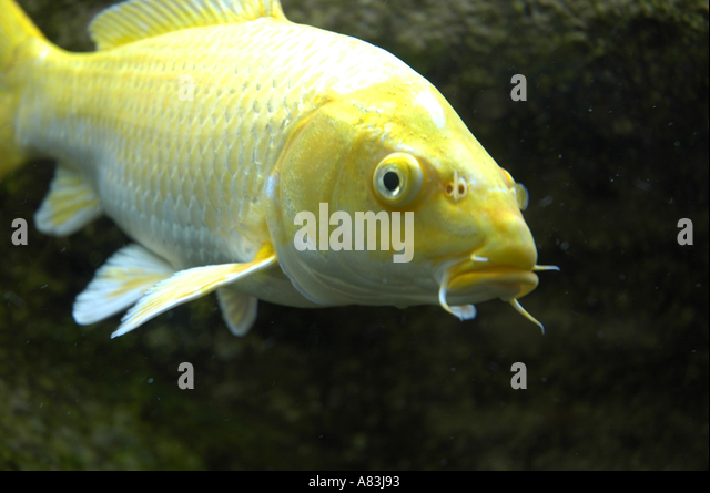 Yellow cold water fish in stock photos yellow cold water for What are cold water fish
