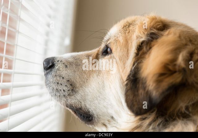 Dog Peeking Through Blinds