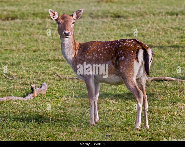 how to find fallow deer
