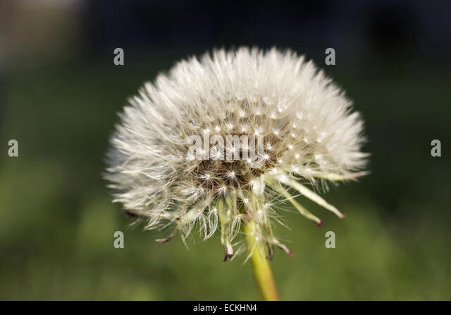 dandelion flower meaning stock photos  dandelion flower meaning, Natural flower