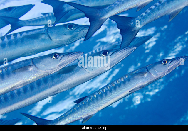 Banda Stock Photos & Banda Stock Images - Alamy