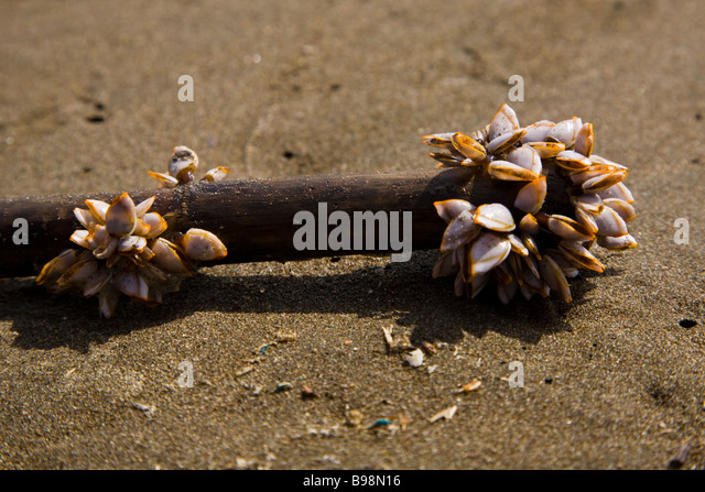 Mollusks Stock Photos & Mollusks Stock Images - Alamy L Mollusks