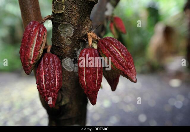 Theobroma cacao stock photos theobroma cacao stock for Jardin 4 epices