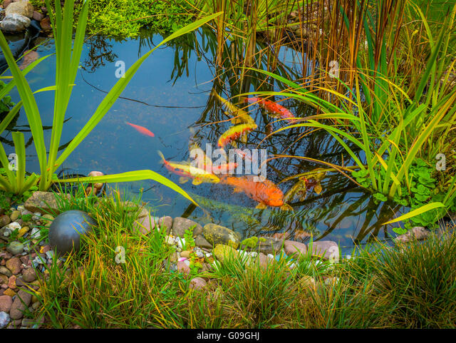 Koi carp garden pond stock photos koi carp garden pond for Carp pond design
