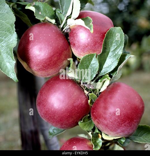 berlepsch apfelbaum