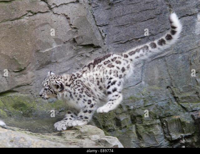 Panthera Uncia Stalking Stock Photos & Panthera Uncia ...