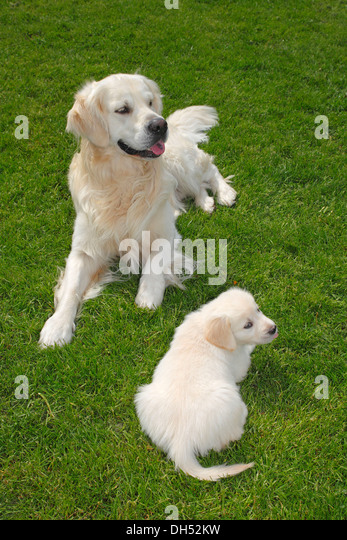 Breeding Dog Stock Photos & Breeding Dog Stock Images - Alamy