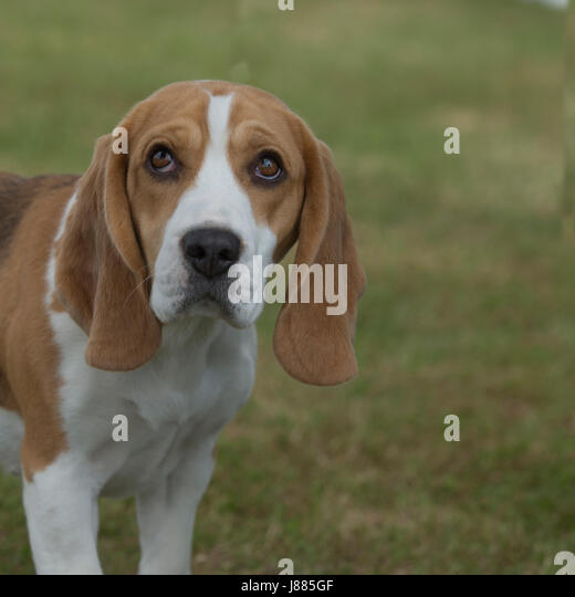 dog beagle guilty wallpapers - photo #35