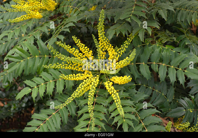 Mahonia yellow flowers leaves stock photos mahonia for Mahonia japonica