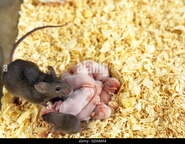 baby house mice bing images