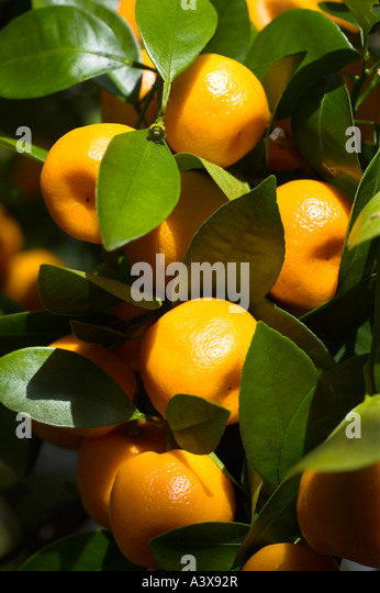 citrus mitis stock photos citrus mitis stock images alamy. Black Bedroom Furniture Sets. Home Design Ideas