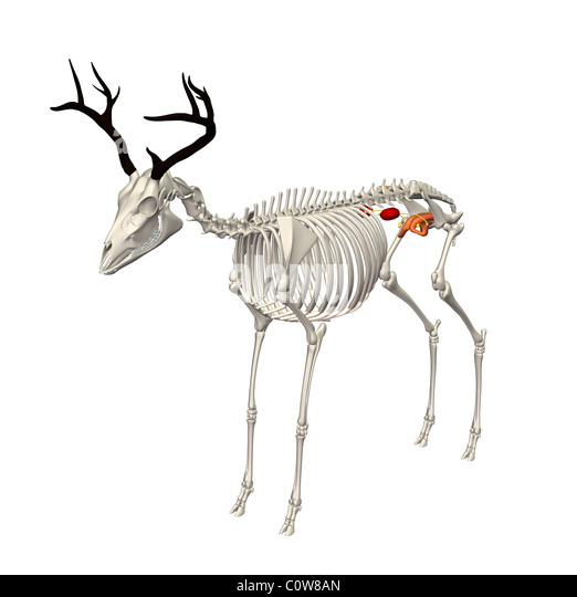 Deer Bone Anatomy Pictures to Pin on Pinterest - PinsDaddy