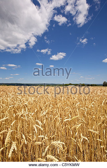 Hard Wheat Stock Photos & Hard Wheat Stock Images - Alamy