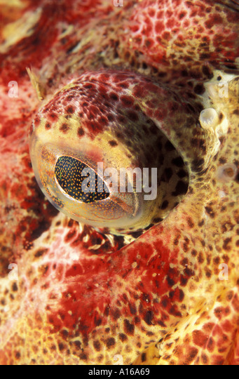 Sculpins stock photos sculpins stock images alamy for Irish lord fish