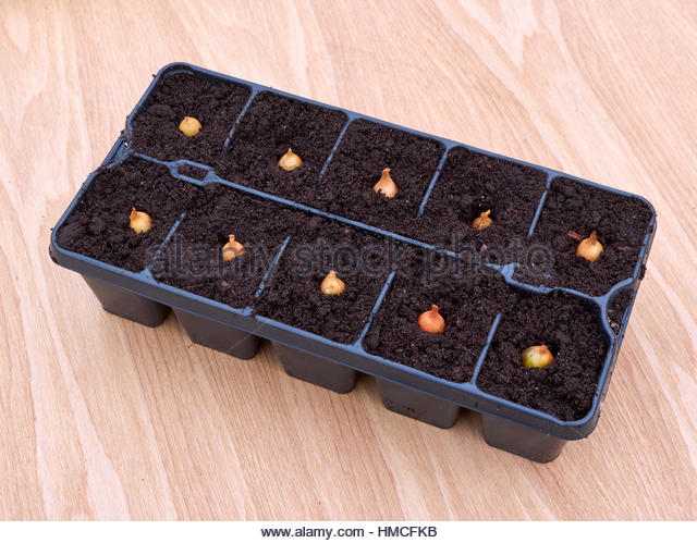 planting onions sets in modualr plastic seed trays with individual cells stock image