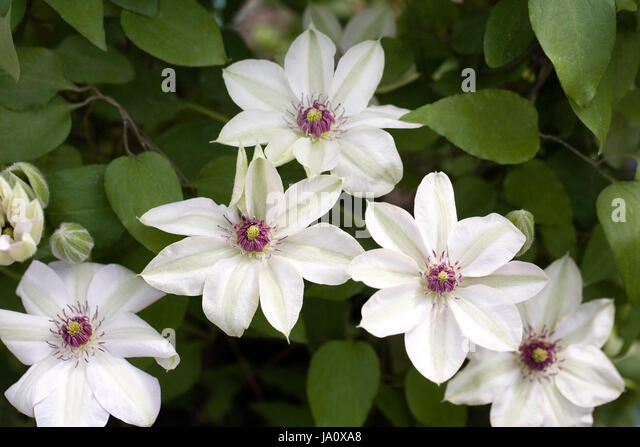 clematis climber horticulture gardening stock photos. Black Bedroom Furniture Sets. Home Design Ideas