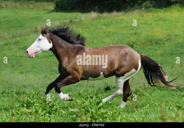 Brown Horse Galloping Stock Photos & Brown Horse Galloping ...