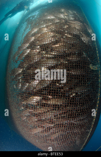 European Sea Bass Scientific Name Stock Photos European
