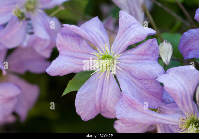 late summer clematis stock photos late summer clematis. Black Bedroom Furniture Sets. Home Design Ideas
