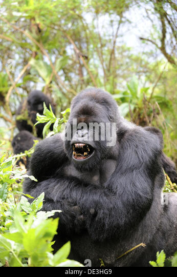 Male Gorilla Yawning Stock Photos & Male Gorilla Yawning ...