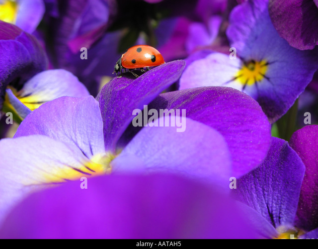 ladybug pansy stock photos  u0026 ladybug pansy stock images