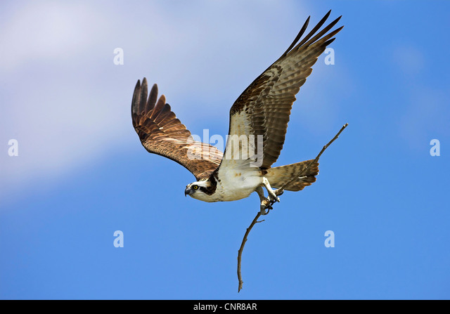 Osprey nesting stock photos osprey nesting stock images for Fish hawk fl