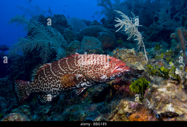 Striped grouper stock photos striped grouper stock for Tiger striped fish