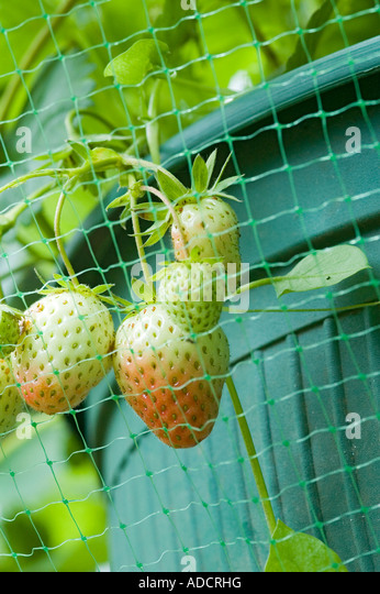 how to grow strawberries in pots from seeds
